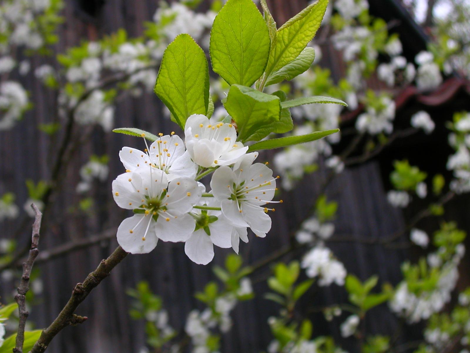 Arbre de Sakura Fleur_cerisier